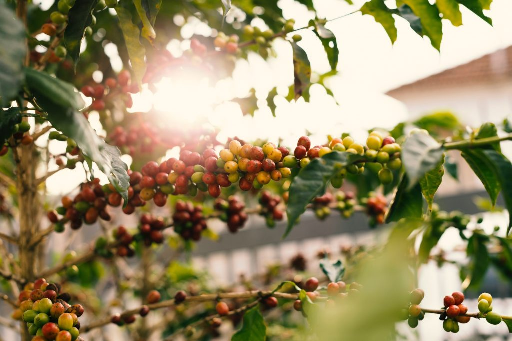 Ilustrasi buah kopi di atas pohon